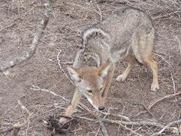 Coyote Sightings Ocean Park