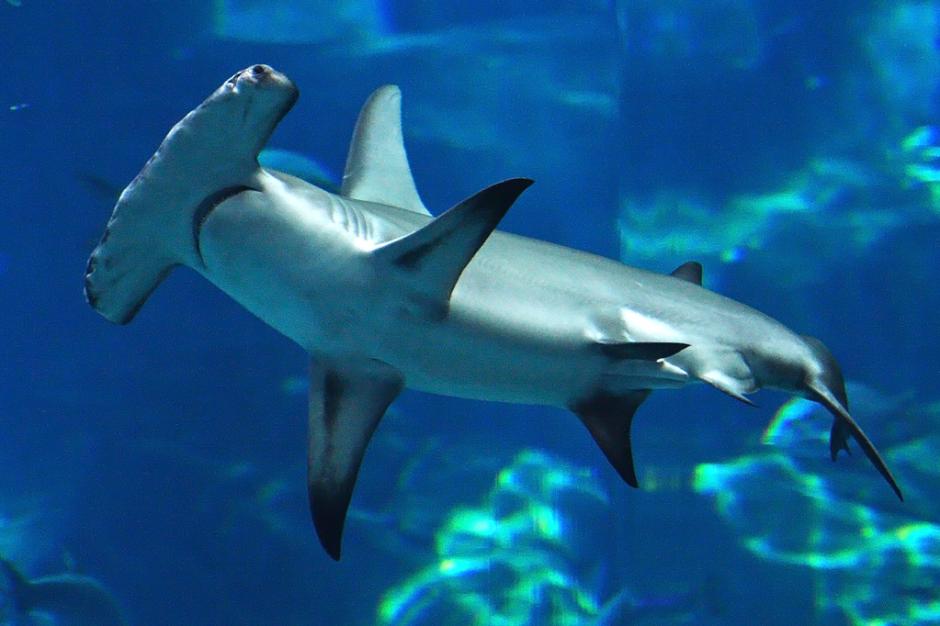 Hammerhead shark seen at malibu pier canyon news for Baby sharks for fish tanks