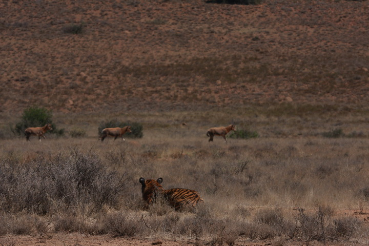 Tiger Stalking image courtesy of Wikimedia Commons