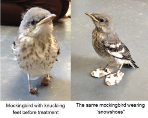 The mockingbird before (left) and after (right) knuckling treatment.