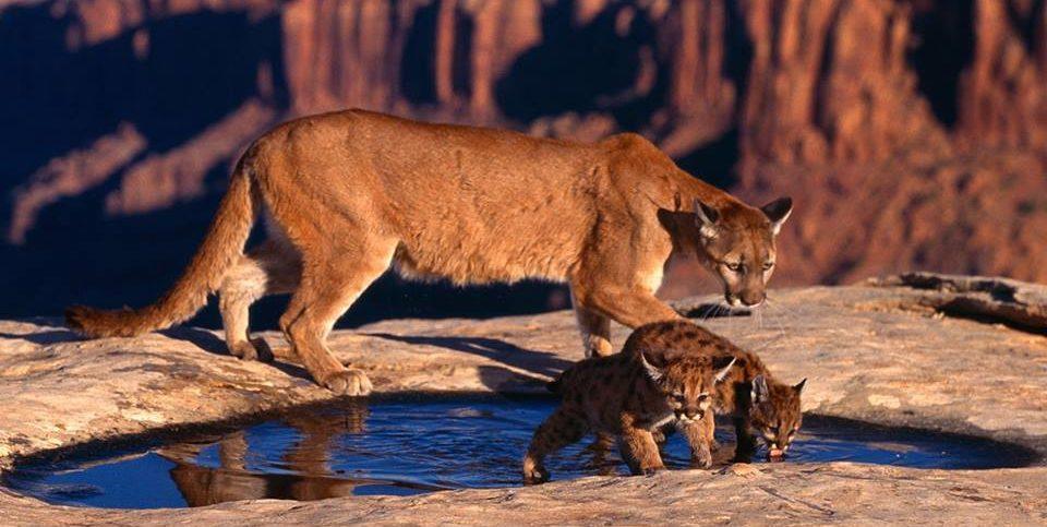 short film secret life mountain lions