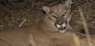 Malibu Kill Order Mountain Lion