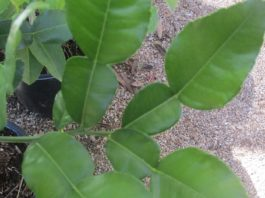 Makrut lime leaves and herbs
