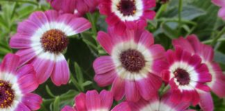 potted plants cineraria