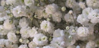 frost baby's breath