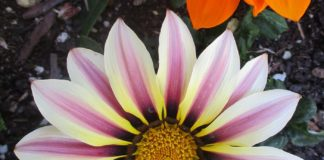 concrete friendly gazania