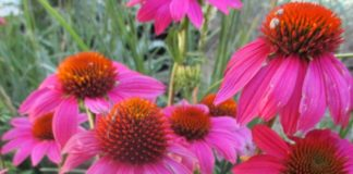 culinary herbs coneflower
