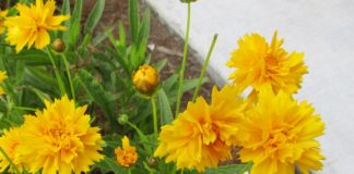 saving seed from coreopsis