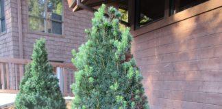 coniferous evergreens