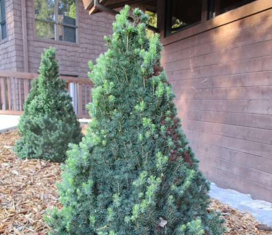coniferous evergreens