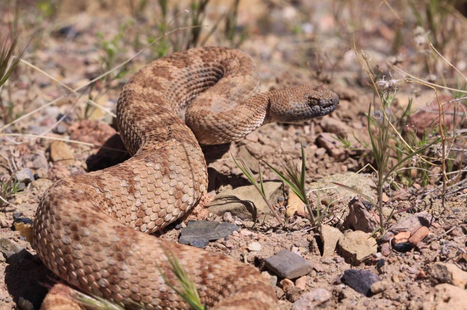 Rattlesnakes In The Big City - Canyon News