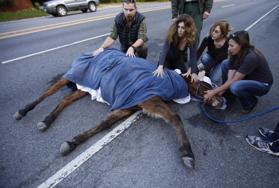 The mule was euthanized after authorities gauged the severity of its injuries.