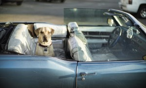 Leaving pets in hot cars can be dangerous. Photo by Christopher Michel.