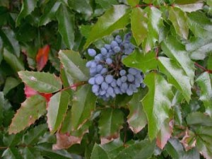 Oregon grape is a plant that is often pruned incorrectly.