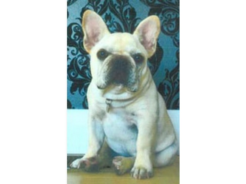 6-month-old French bulldog Major Ralph was stolen from his home on September 4 during a burglary. Photo via Craigslist.