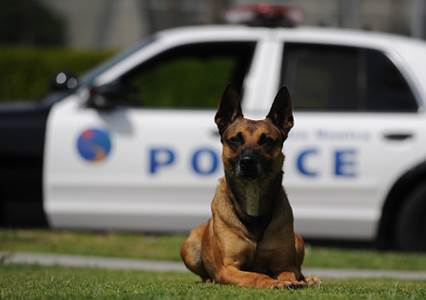 Pavo, K-9 with the Santa Monica Police Department. Photo courtesy of the SMPD.
