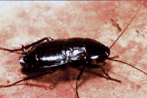 Standard Cockroach
