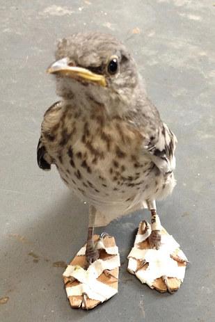 CWC Rescues Malibu Mockingbird With