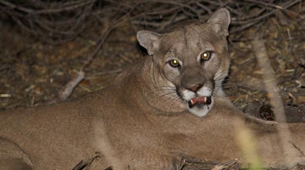 Malibu Kill Order Mountain Lion