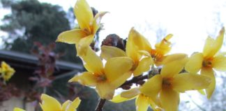 forsythia not weeds