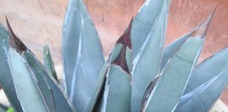 agave not squash